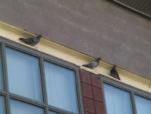 Pigeons at school